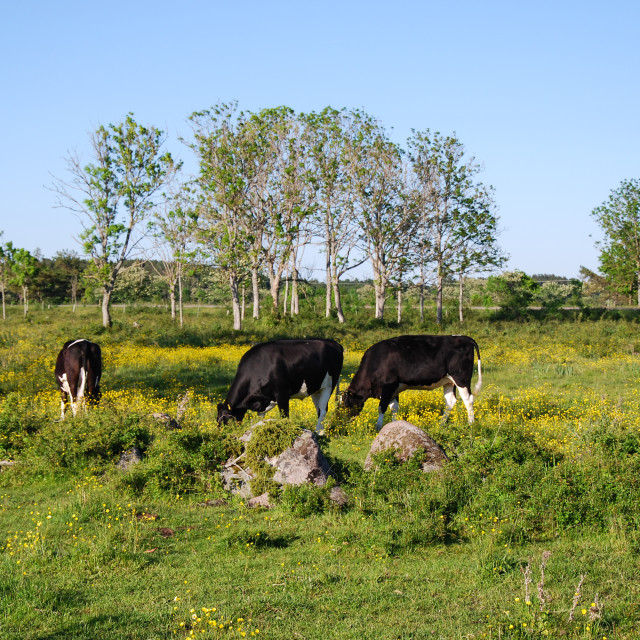 """Grazing cows in a colored landscape"" stock image"