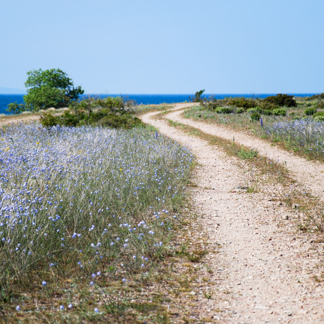 """Blue flowers by a winding coastal dirt road"" stock image"