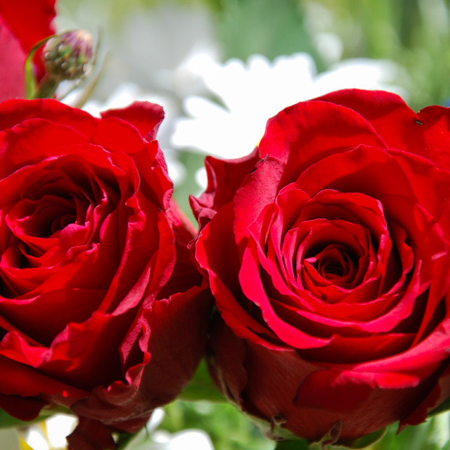 """""""Vibrant red roses"""" stock image"""