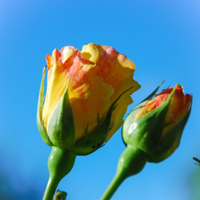 """Peace rose buds"" stock image"