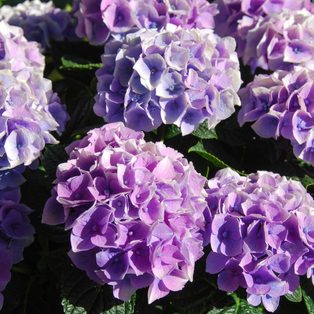 """Hortensia flowers closeup"" stock image"
