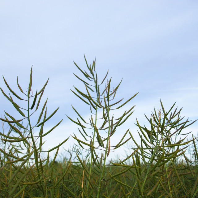 """Unripe rapeseed closeup"" stock image"