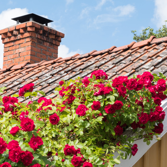 """Red roses climbing on a roof"" stock image"