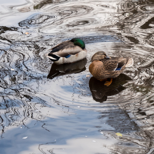 """Mallards and reflections"" stock image"