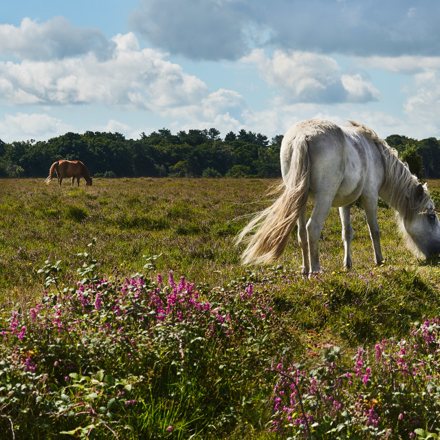 """New Forest Pony grazing on healthand in National Park"" stock image"