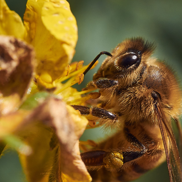 """Yellow Honey Bee Collecting Pollen"" stock image"