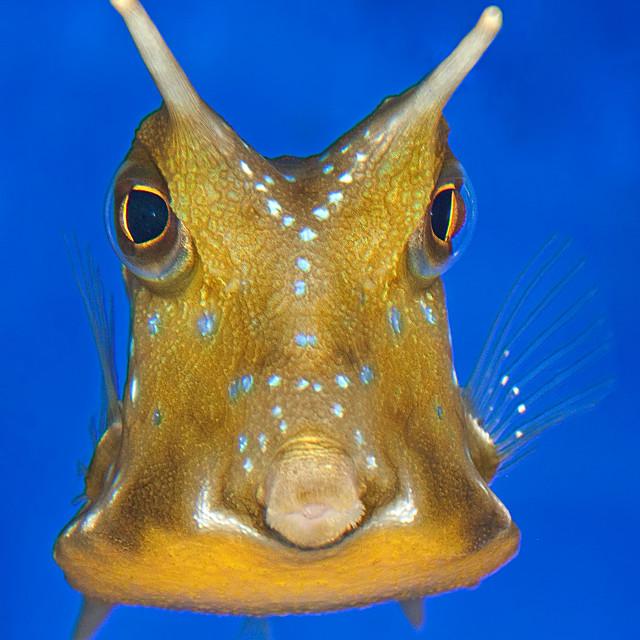 """Longhorn Cowfish 2"" stock image"