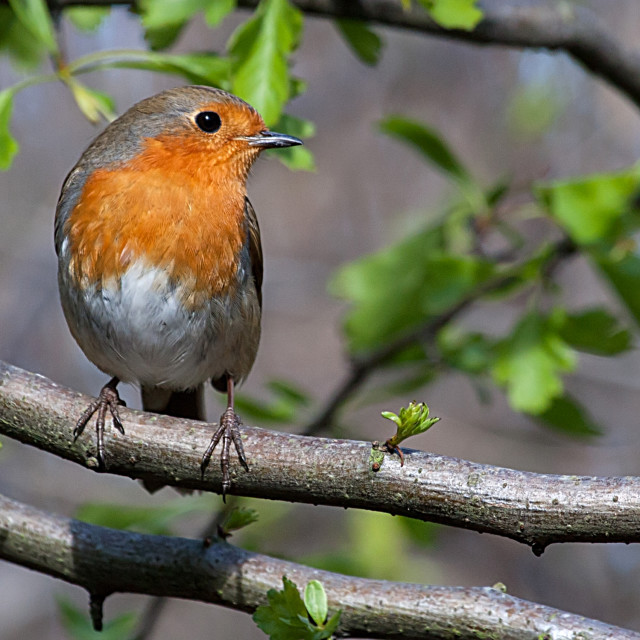 """Robin Sitting on a Branch"" stock image"
