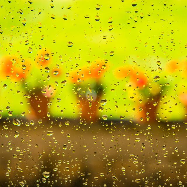 """Rainy day blossoms"" stock image"