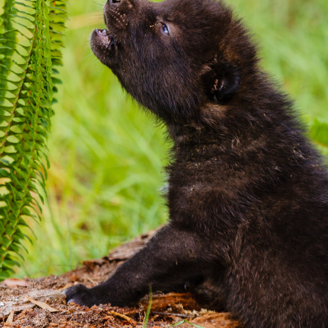 """Little Howl - British Columbia Wolf Puppy"" stock image"