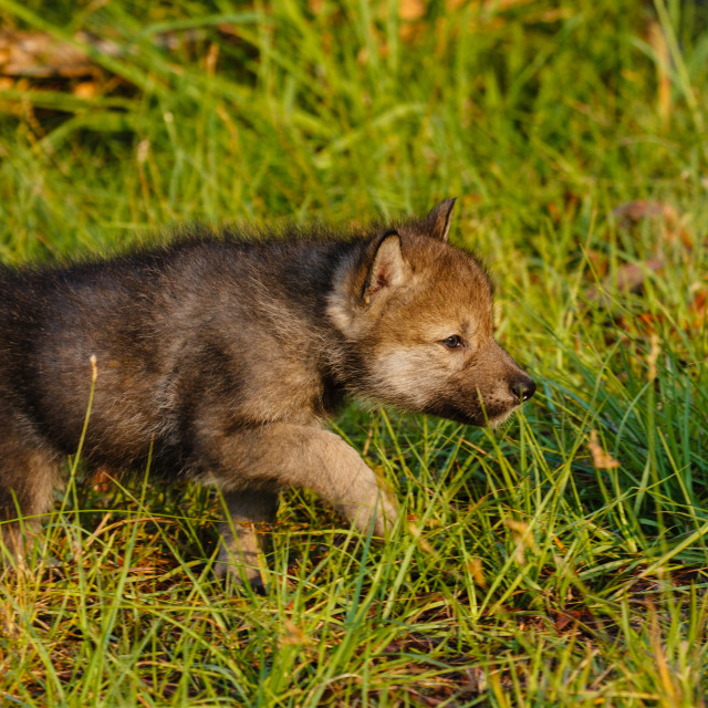 """""""Timber Wolf Pup"""" stock image"""