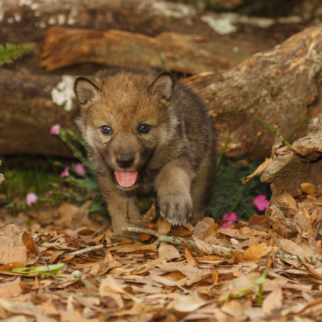 """Timber Wolf Pup"" stock image"