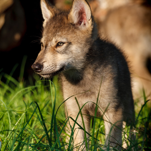 """Gray Wolf Pup"" stock image"