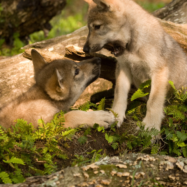 """""""Gray Wolf Pup"""" stock image"""