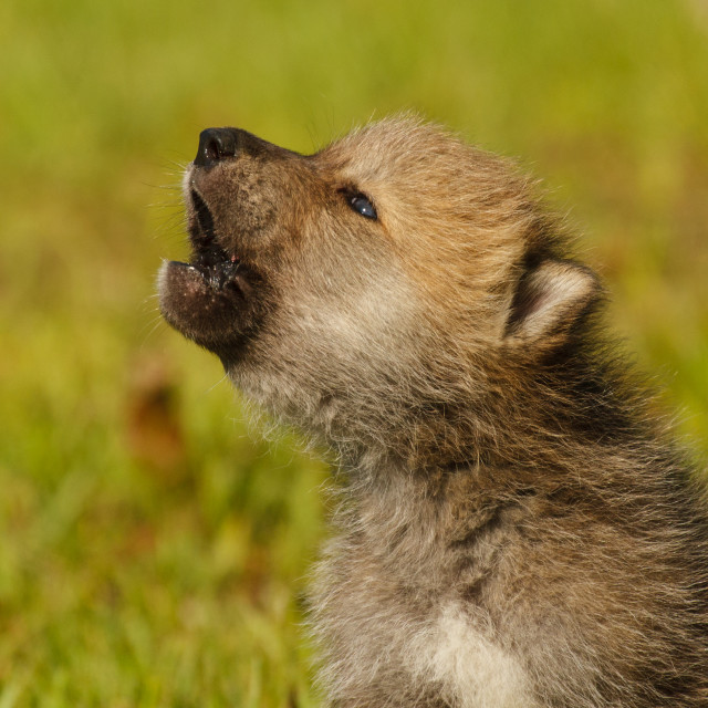 """""""Gray Wolf Pup Howling"""" stock image"""