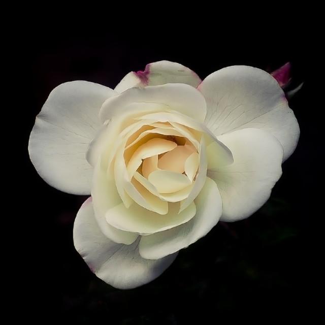 """""""Single White Rose on Black Background"""" stock image"""