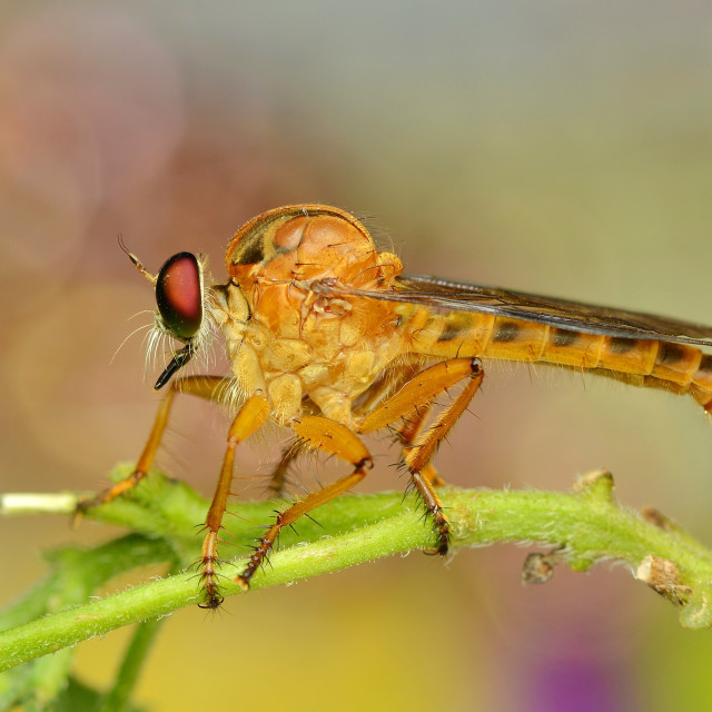 """""""Robberfly in the garden"""" stock image"""