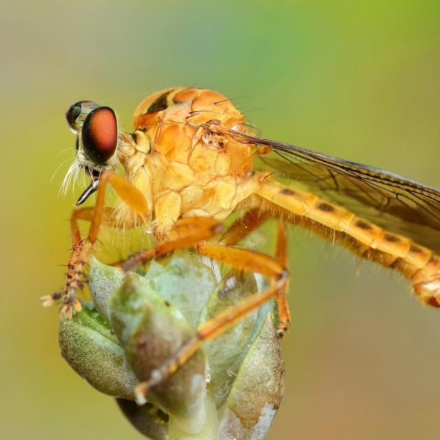 """Golden robberfly"" stock image"