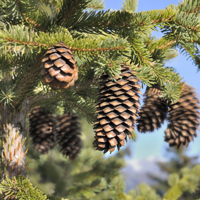 """close on picecone in a fir"" stock image"