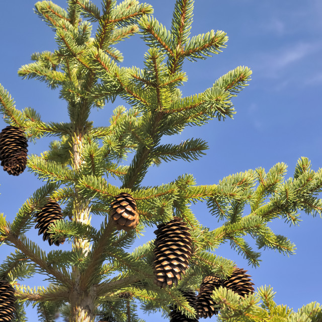 """pinecones in a fir"" stock image"