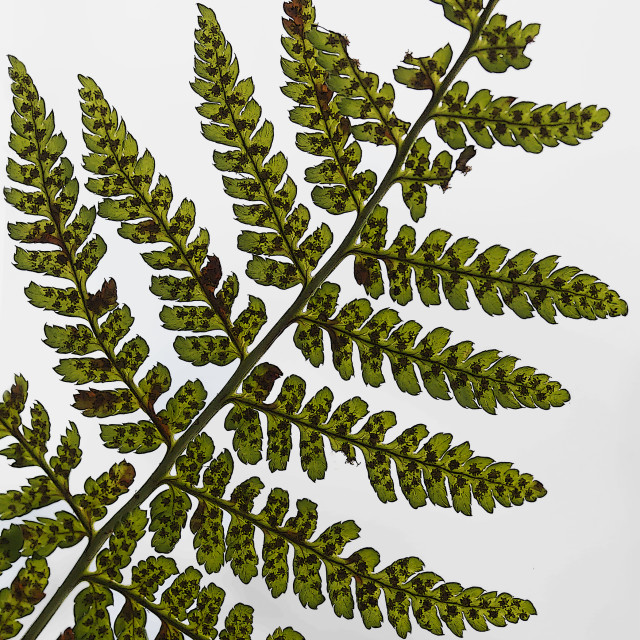"""Fern Frond"" stock image"