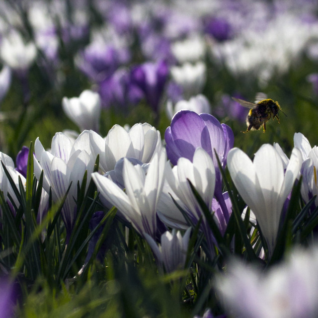 """Bee in spring crocuses"" stock image"