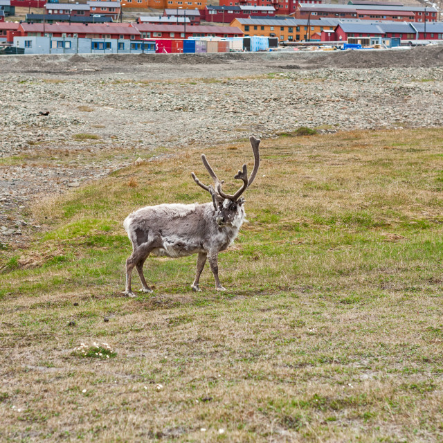 """Free reindeer in Longyearbyen, Norway"" stock image"