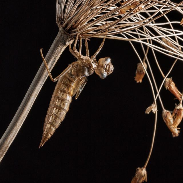 """Dragonfly exuvia"" stock image"