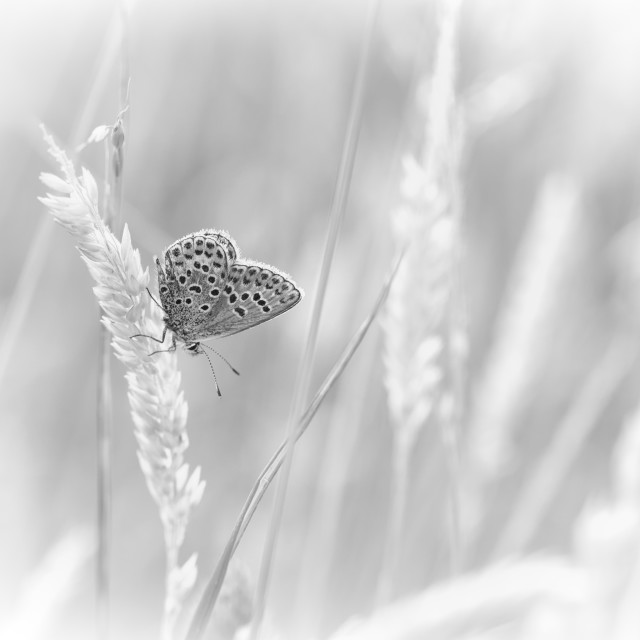 """Silver-studded butterfly"" stock image"