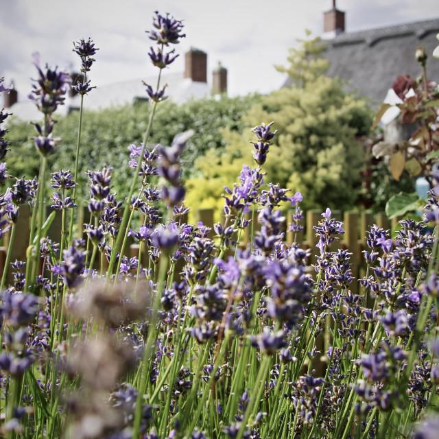 """Lavendar plant in full bloom"" stock image"