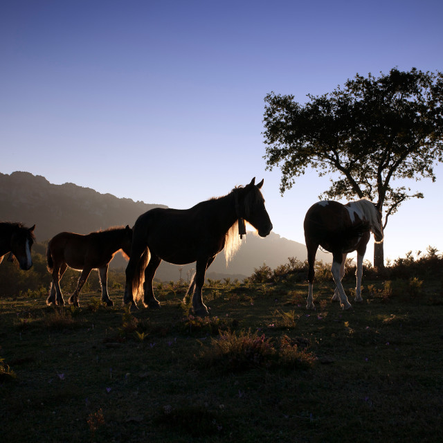 """Mares at sunset"" stock image"