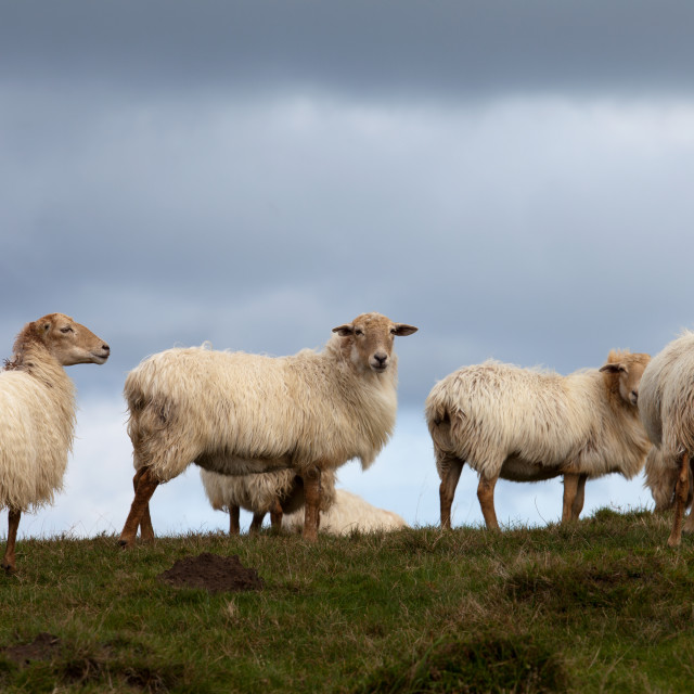 """Sheep in the bush"" stock image"