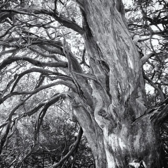 """Ancient yew tree"" stock image"