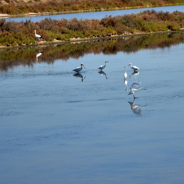 """White herons"" stock image"