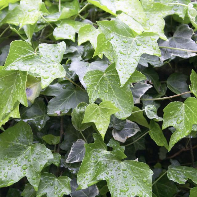 """""""Ivy leaf 02"""" stock image"""