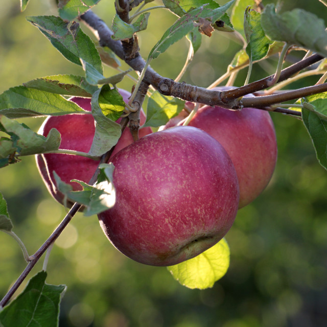 """""""ripe apples before harvesting damaged by hail stones"""" stock image"""