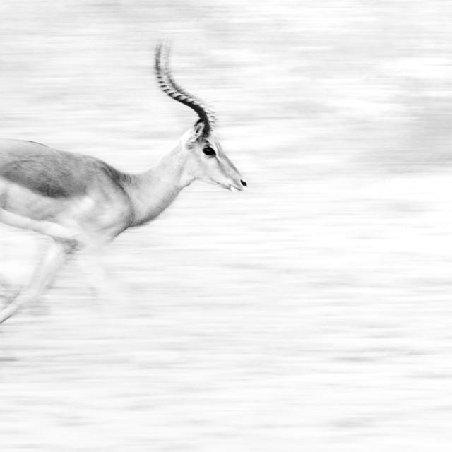 """""""Running Impala"""" stock image"""