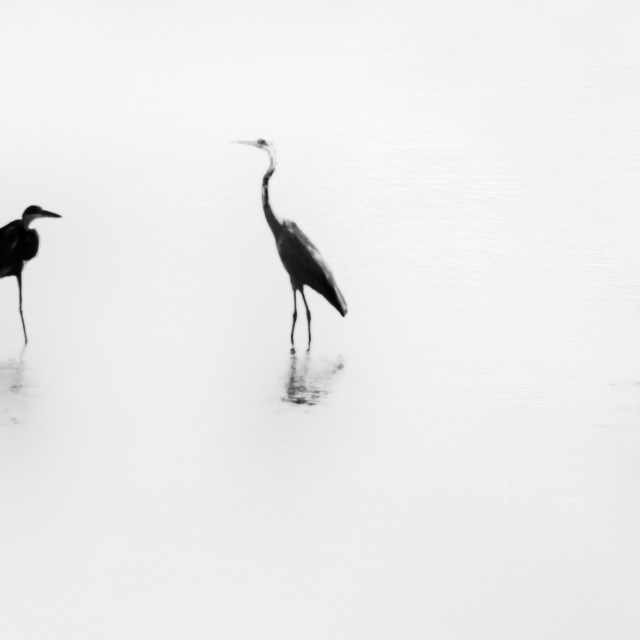 """Three Herons"" stock image"
