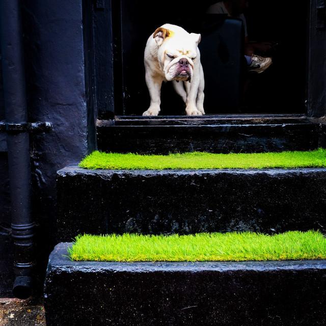 """French bulldog in Brighton UK"" stock image"