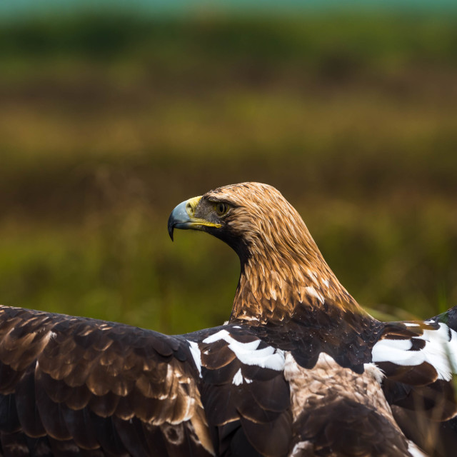 """""""An Imperial eagle."""" stock image"""