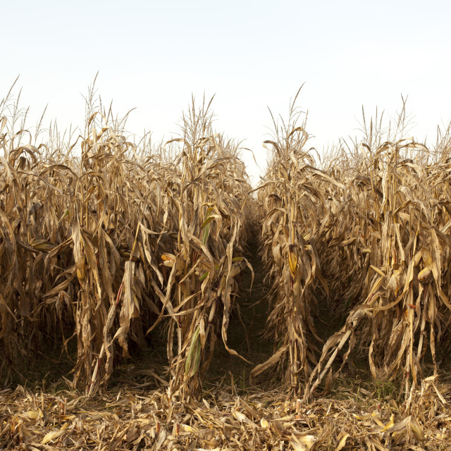 """field of corn"" stock image"