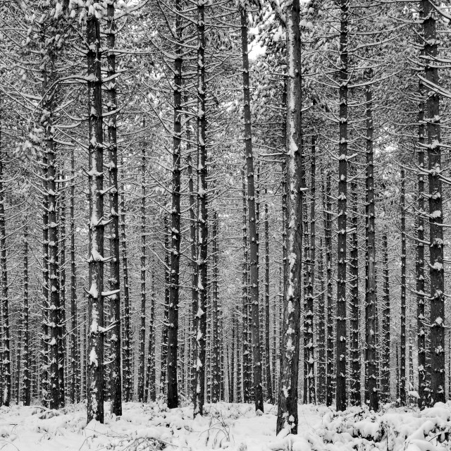 """Snow Pine"" stock image"