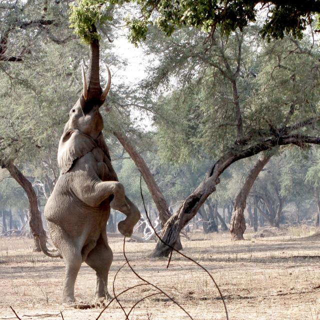 """""""Feeding time - elephant 1"""" stock image"""