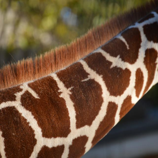 """Pattern of Spots on a Giraffe's Neck"" stock image"