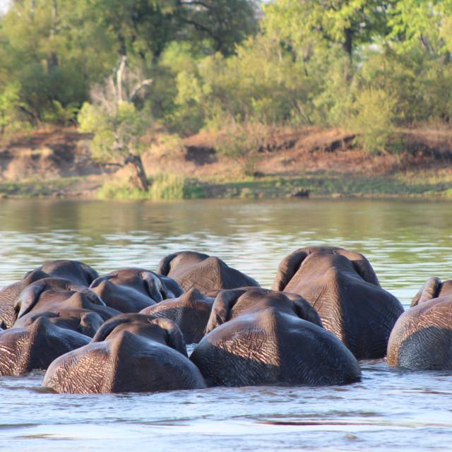 """Swimming Elephants"" stock image"