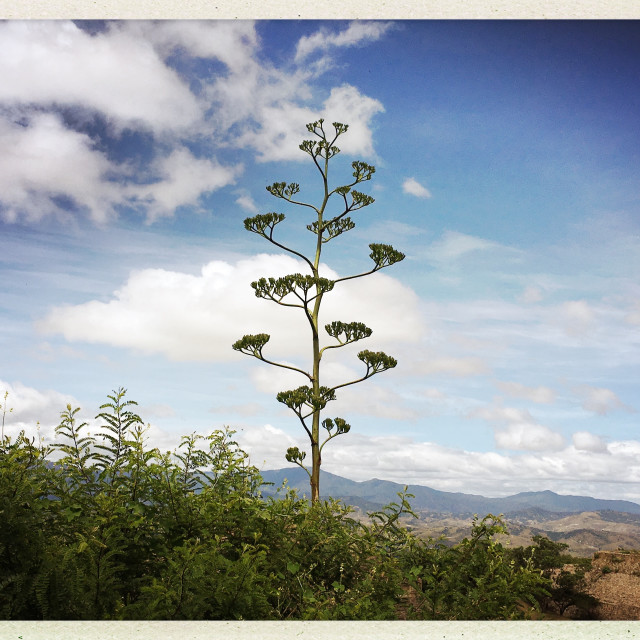 """""""Agave plant at Monte Albán"""" stock image"""