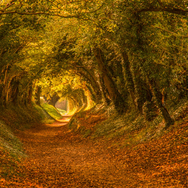 """Autumn tree-tunnel"" stock image"