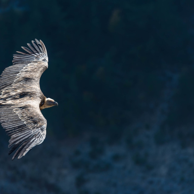 """griffon vulture in flight"" stock image"