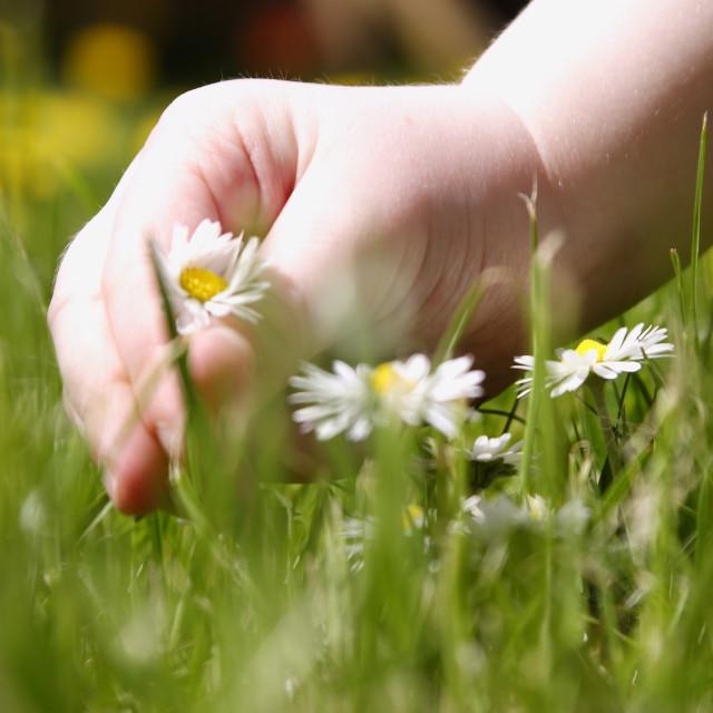 """hand picking daisey flower"" stock image"