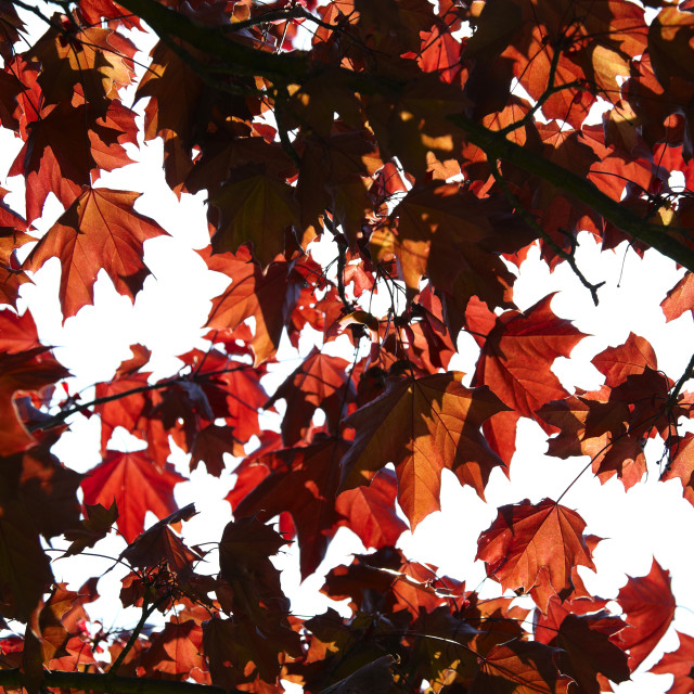 """""""Red Leaves"""" stock image"""